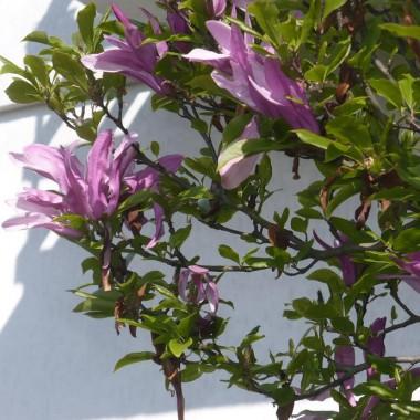 ..................i kwiaty magnolii...............