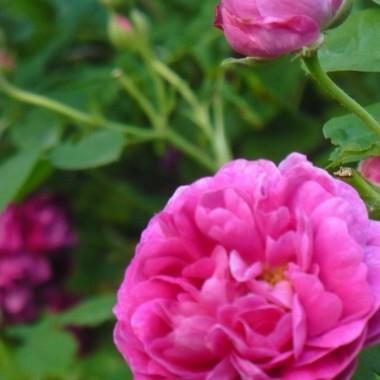 ..............i róża.................