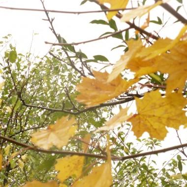 .............i złote liście klonu............