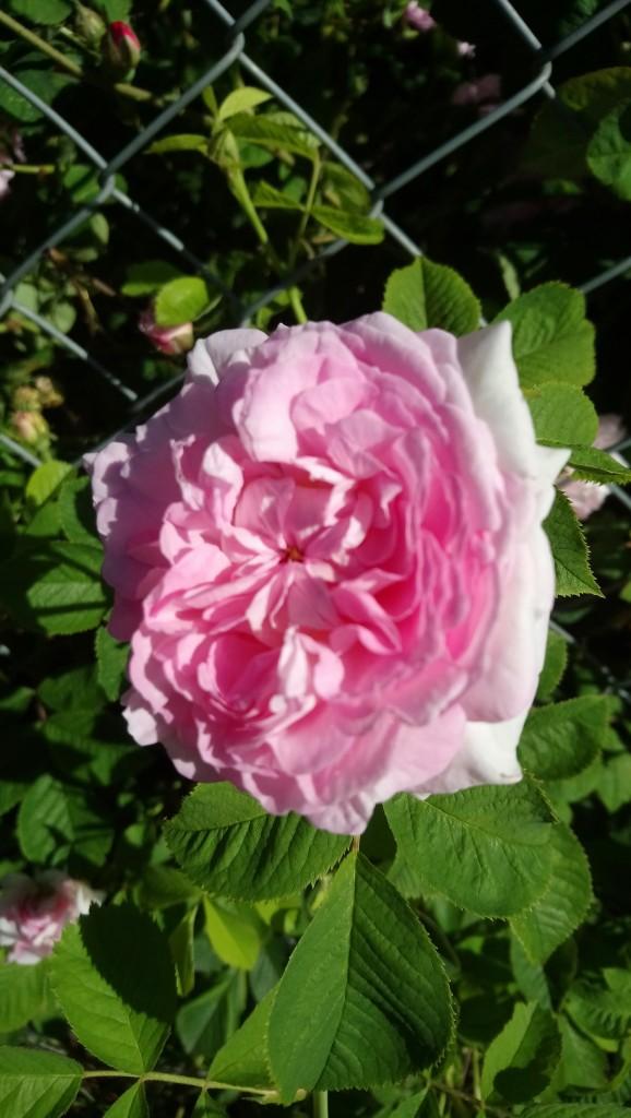 Rośliny, Czerwcowe róże ................. - .................i róża konfiturowa..............