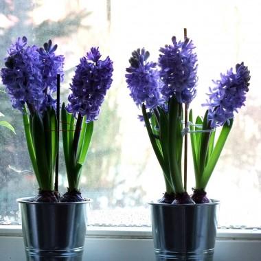 Moje kwitnące Hiacynty :-)