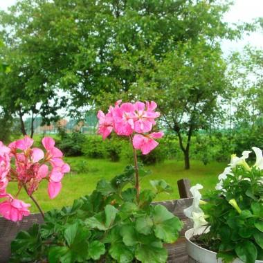 ...nareszcie przestał padać deszcz,zieleń cudnie pachnie ,czas popielić chwasty w moim warzywniku:)czyli przyjemne z pożytecznym&#x3B;)