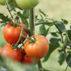 Pomidory, pomidory, komu pomidory!!!