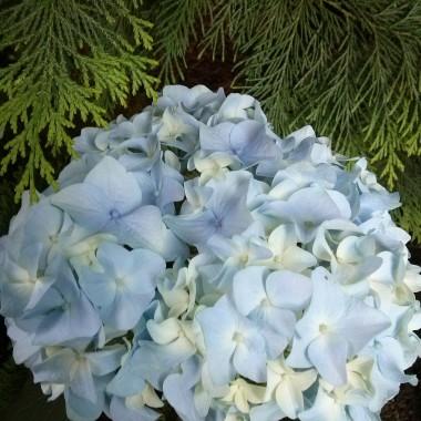 Jedyna niebieska, sama z siebie- bez podlewania -dziwna bo w zeszłym roku była biała....:)