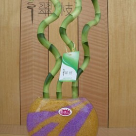Lucky Bamboo czyli popularne bambusy
