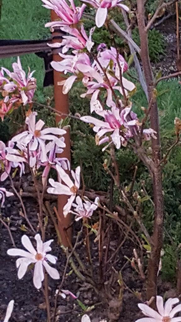 Realizacje, Wiosna zawitała na dobre - magnolia  gwiaździsta  Rose