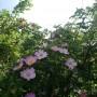 Rośliny, Czerwcowe róże ................. - ..................i dzika róża...............