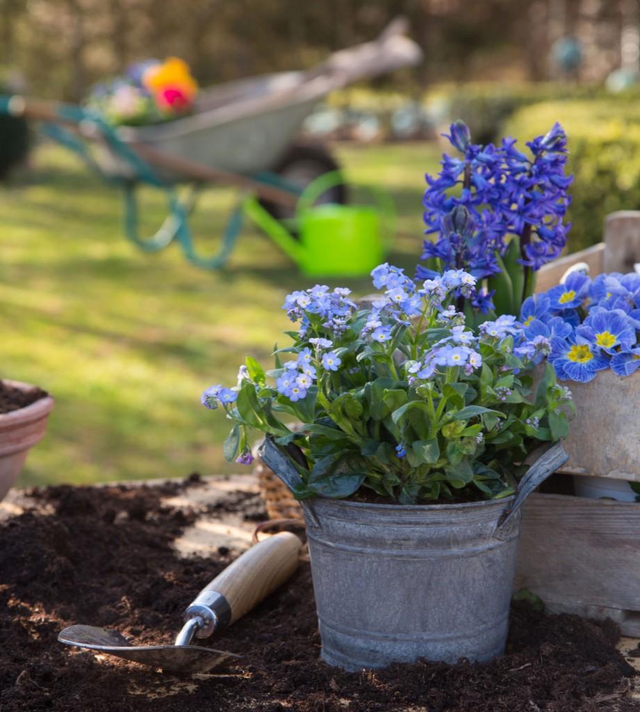 Ogród, Te rośliny to balkonowy hit na wiosnę - Niezapominajki, hiacynt i pierwiosnek :)