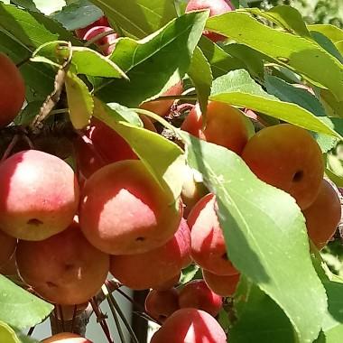 ...................jabłuszka dojrzewają............
