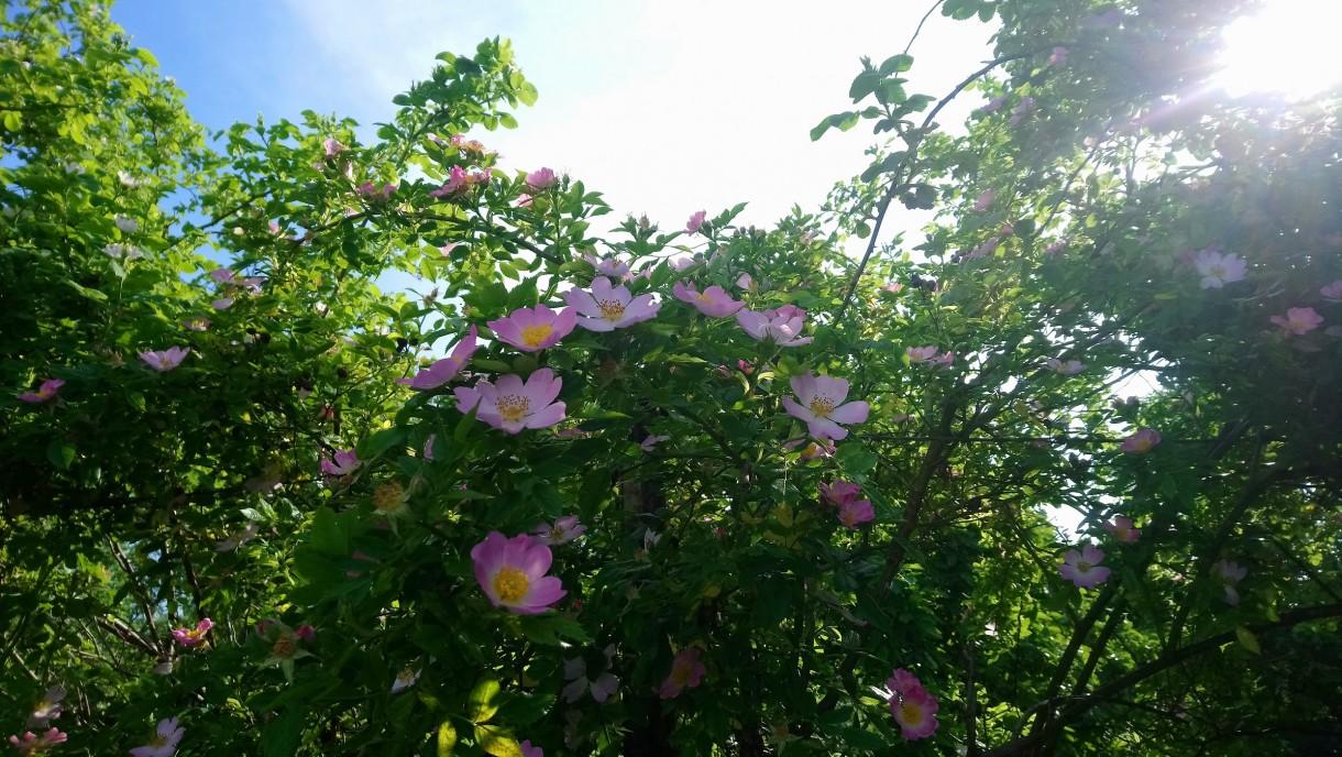 Rośliny, Czerwcowe róże ................. - ..................i dzika róża..............