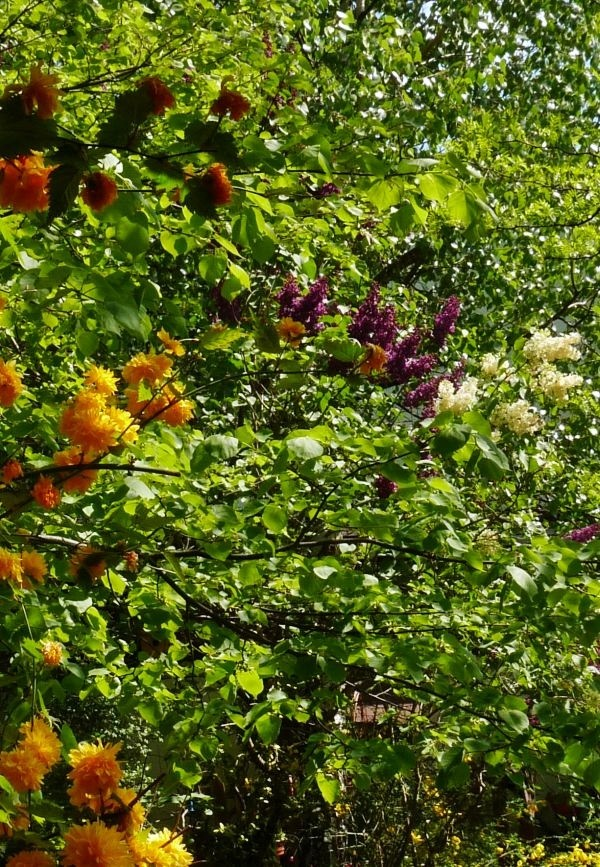 Ogród, Bez, bzy - a to francuski żółty