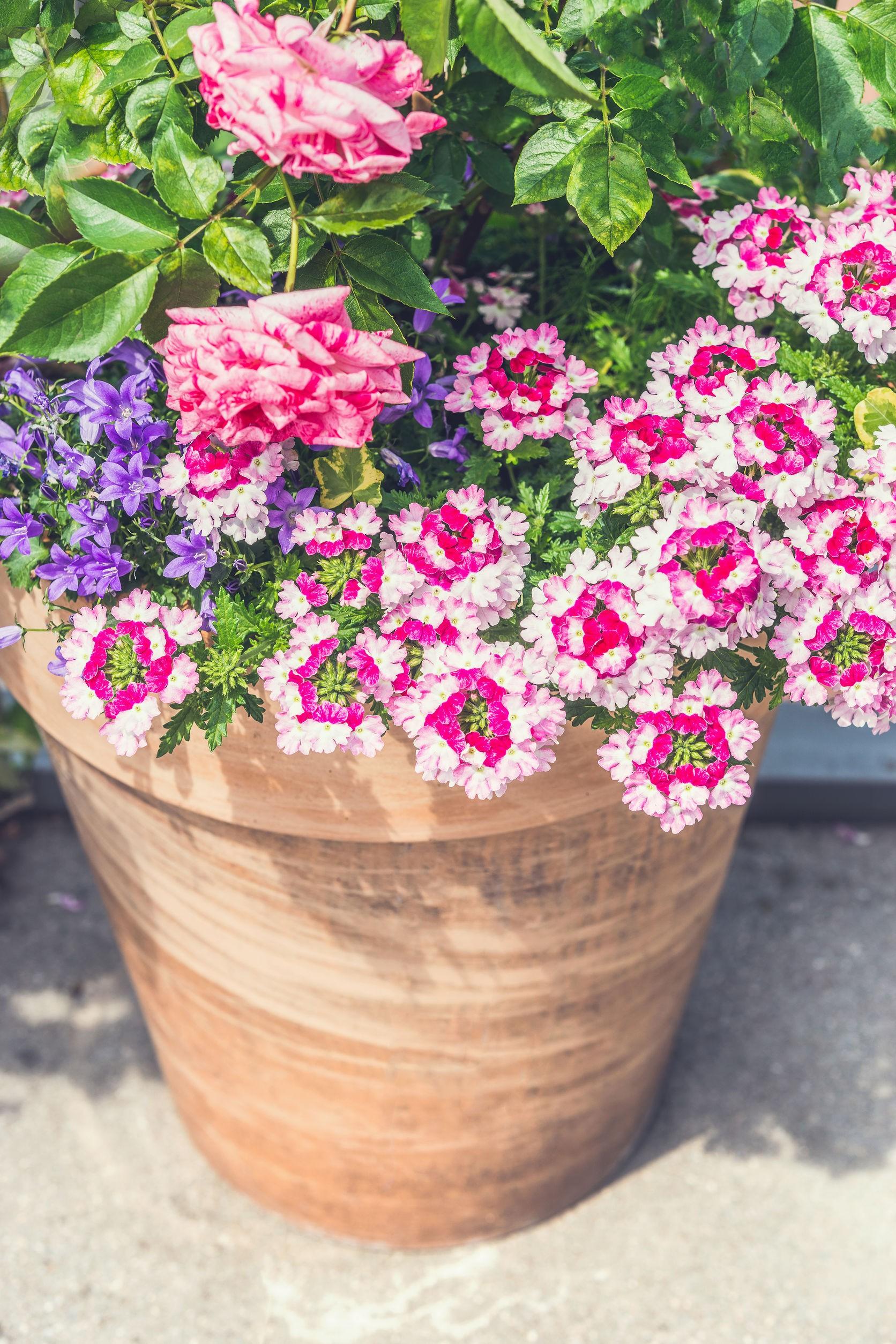 Lobelie I Werbeny Kwiaty Na Balkon I Taras Jak Sadzić