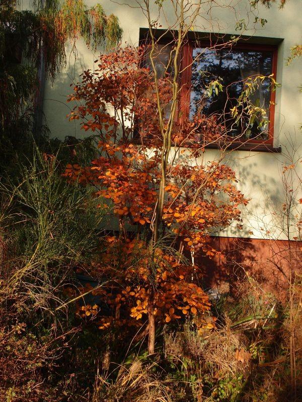 Ogród, Złoto w ogrodzie - perukowiec  uroczy bardzo