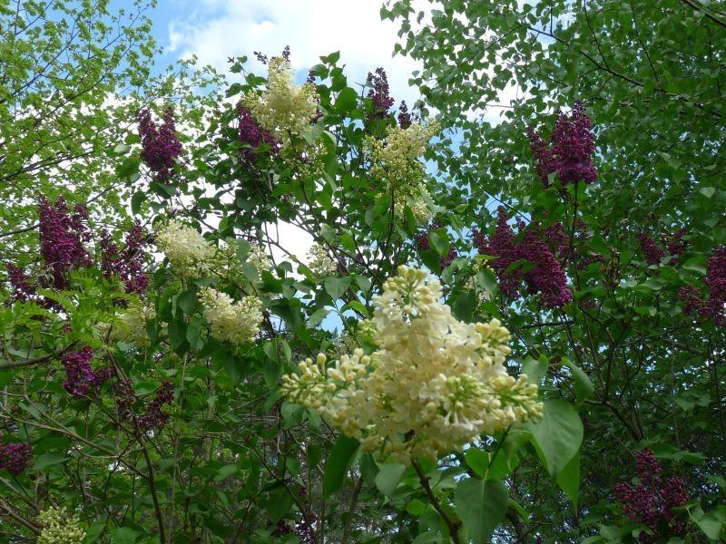 Ogród, Bez, bzy - oba pachnące
