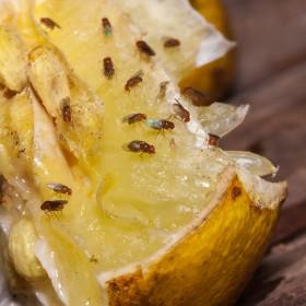 Muszki owocówki - jak się ich pozbyć?