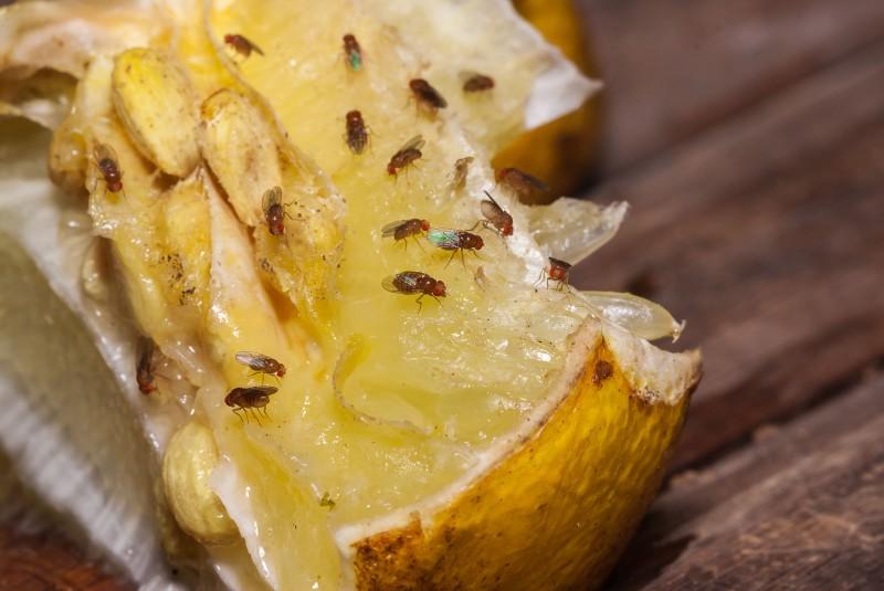 Muszki owocowe na cytrynie
