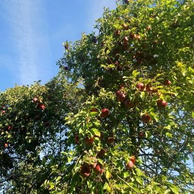 ...............i jabłoń a na niej pyszne jabłuszka :) Pozdrawiam serdecznie :)