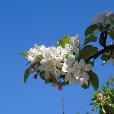 ..............i jabłoń kwitnąca................