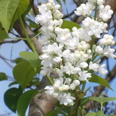 ..............i kwitnący biały bez.............