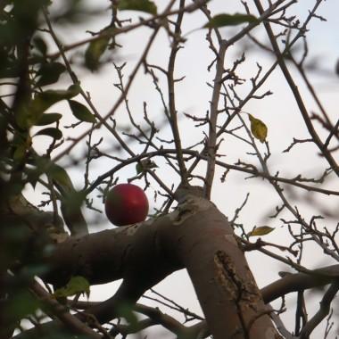 ..............i jabłuszko na jabłoni.................