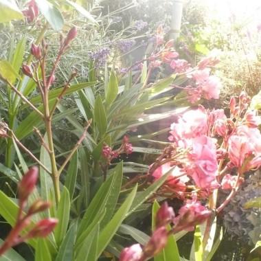 .....................i oleander.......................