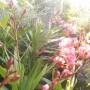 Balkon, Wrześniowe, wciąż  letnie fotki.................... - .....................i oleander.......................