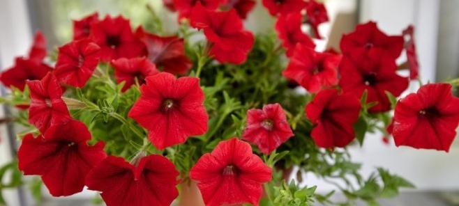 Jak przedłużyć okres kwitnienia roślin w domu i ogrodzie