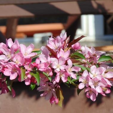 ................i rajska jabłoń kwitnąca..............