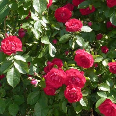 ..............i krzew pełen róż.................
