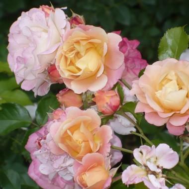 ..............i róża..............