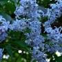 Ogród, Bez, bzy - to mój ulubiony w tym roku kolor