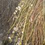 Pozostałe, Bratki i inne kwiatki...................... - ............i wierzba kwitnąca...............