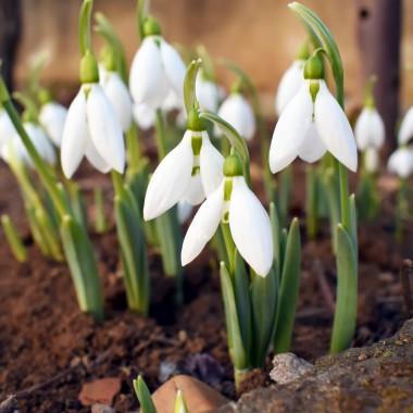Śnieżyczka przebiśniegTo kwiat, który rozpoczyna sezon wiosenny w ogrodach. Podobnie jak inne kwiaty cebulowe może być uprawiana w pojemnikach. Wymaga żyznej, przepuszczalnej gleby. Najlepiej rośnie w półcieniu, co w przypadku balkonu oznacza wystawę północno-wschodnią lub północno – zachodnią, ew. jakieś częściowo zacienione miejsce na słonecznym balkonie.