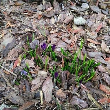 pierwsze wiosenne kwiatki