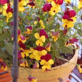 Mój maleńki balkon-z tęsknoty za ogrodem...