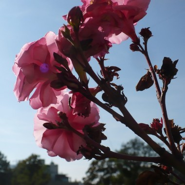 ..............i oleander.................