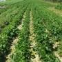 Rośliny, plantacje - truskawki