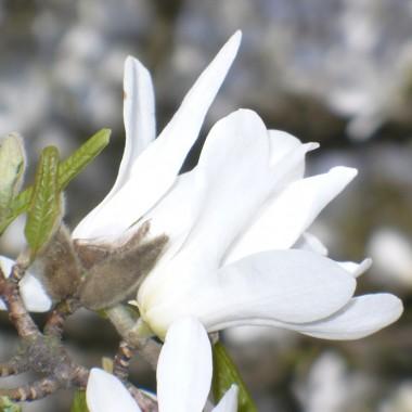 ..................i magnolia.................