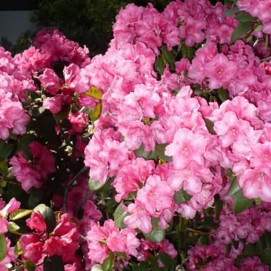 ...............i rododendron w pełni kwitnienia.................