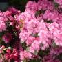 Pozostałe, Maj w moim lasku.................. - ...............i rododendron w pełni kwitnienia.................