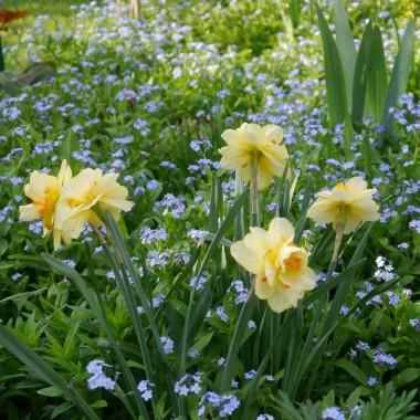 a ponieważ ciepło przyszło bardzo szybko więc mamy bez, niezapominajki i żonkile kwitnące jednocześnie