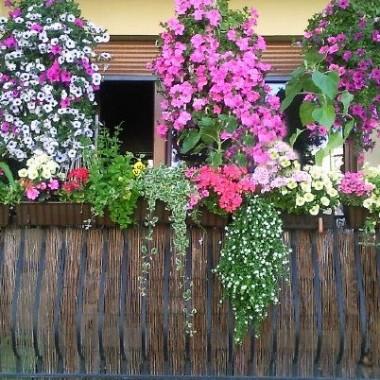 A w moim ogródku balkonowym-słoneczniki,niecierpki,pelagronie,truskawki,surfinie ,petunie,maciejka,groszek i inne roslinki.uwielbiam je