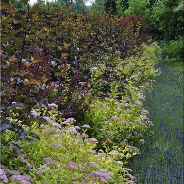 Mam około 200 sztuk Lawendy w ogródku...uwielbiam okres kiedy kwitnie, czekam na to cały rok. Niedaleko mojego domu jest pole Lawendowe co  roku jeżdżę tam - jest zachwycające :)pozdrawiam serdecznie :)