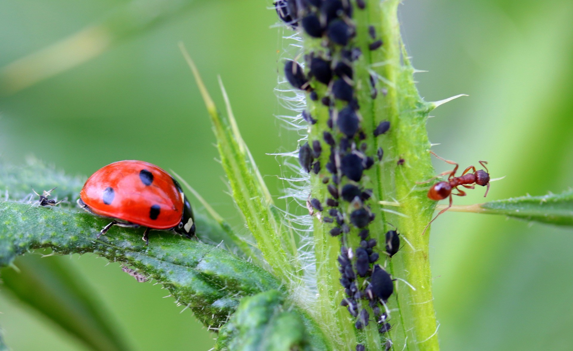 biedronka zjada mszyce; mrówki nie zjadają mszyc