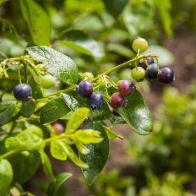 Borówka amerykańska - sadzenie, nawożenie, cięcie