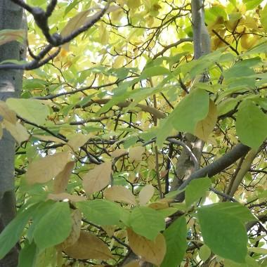 ..............i magnolia...............