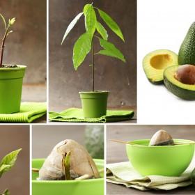 Jak zasadzić awokado? Praktyczny poradnik