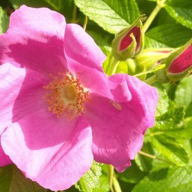 Różano mi.......kwiatuszkowo....lipcowo ...i słonecznie ....