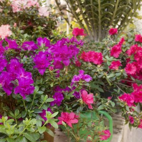 Azalie doniczkowe - ponowne kwitnienie, pielęgnacja i uprawa