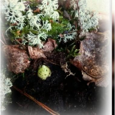 Kwiaty cebulowe posadzone w skrzynkach balkonowych już pchają się na świat.
